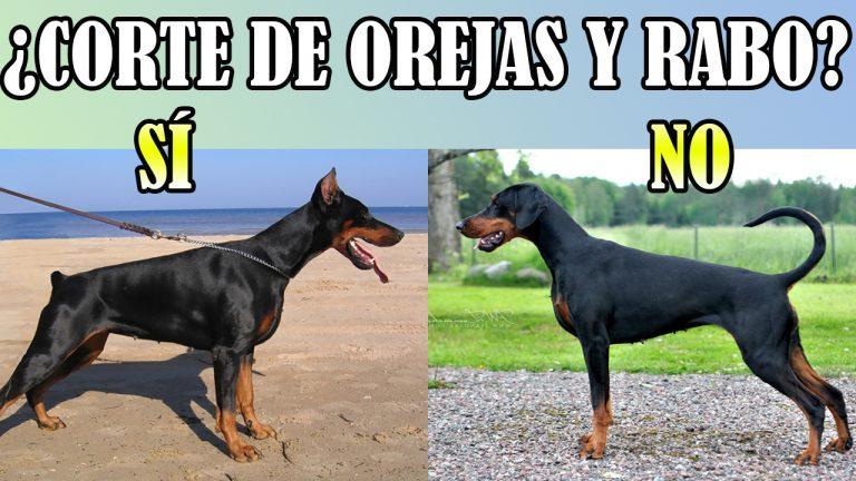Corte De Orejas Y Rabo En Perros