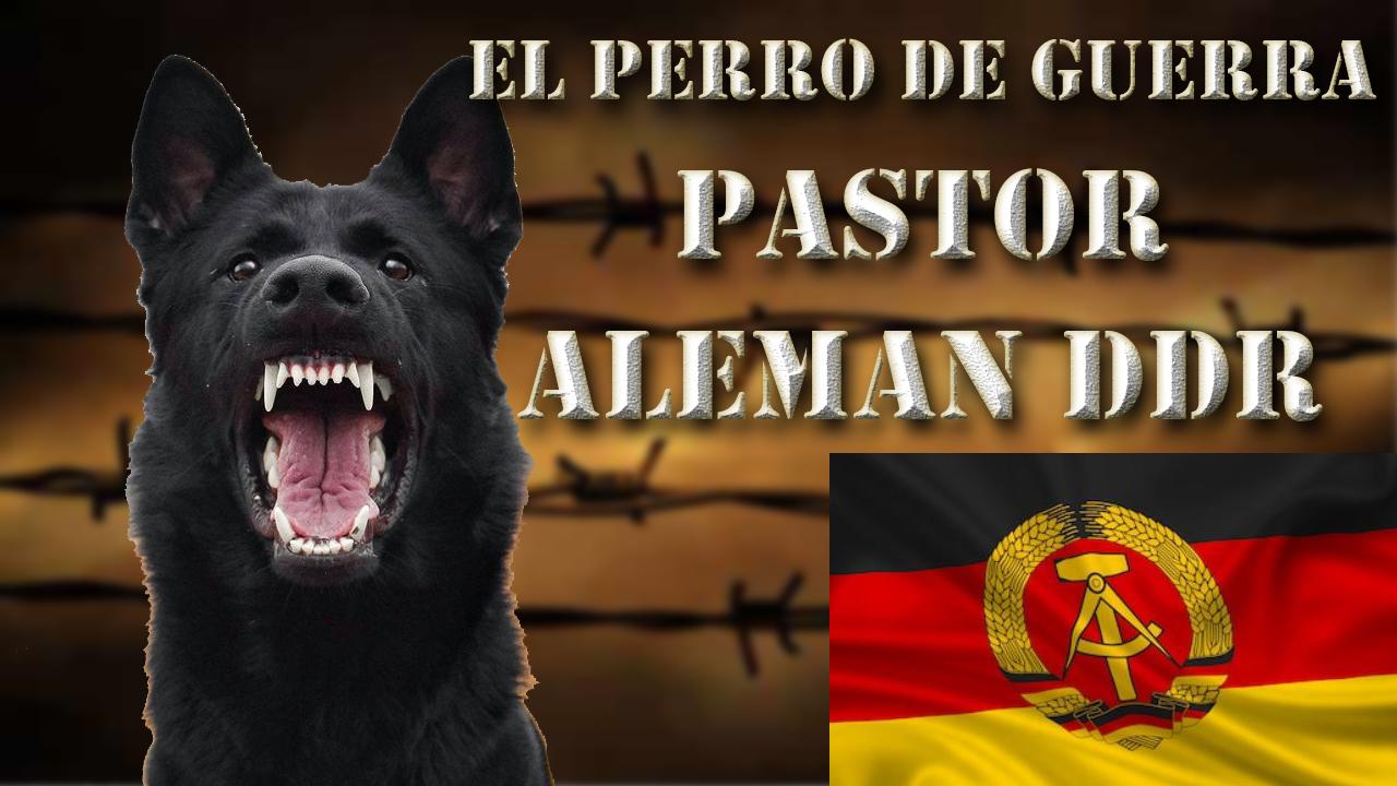 Pastor Alemán Ddr