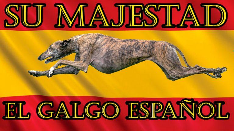 Galgo Español Corriendo
