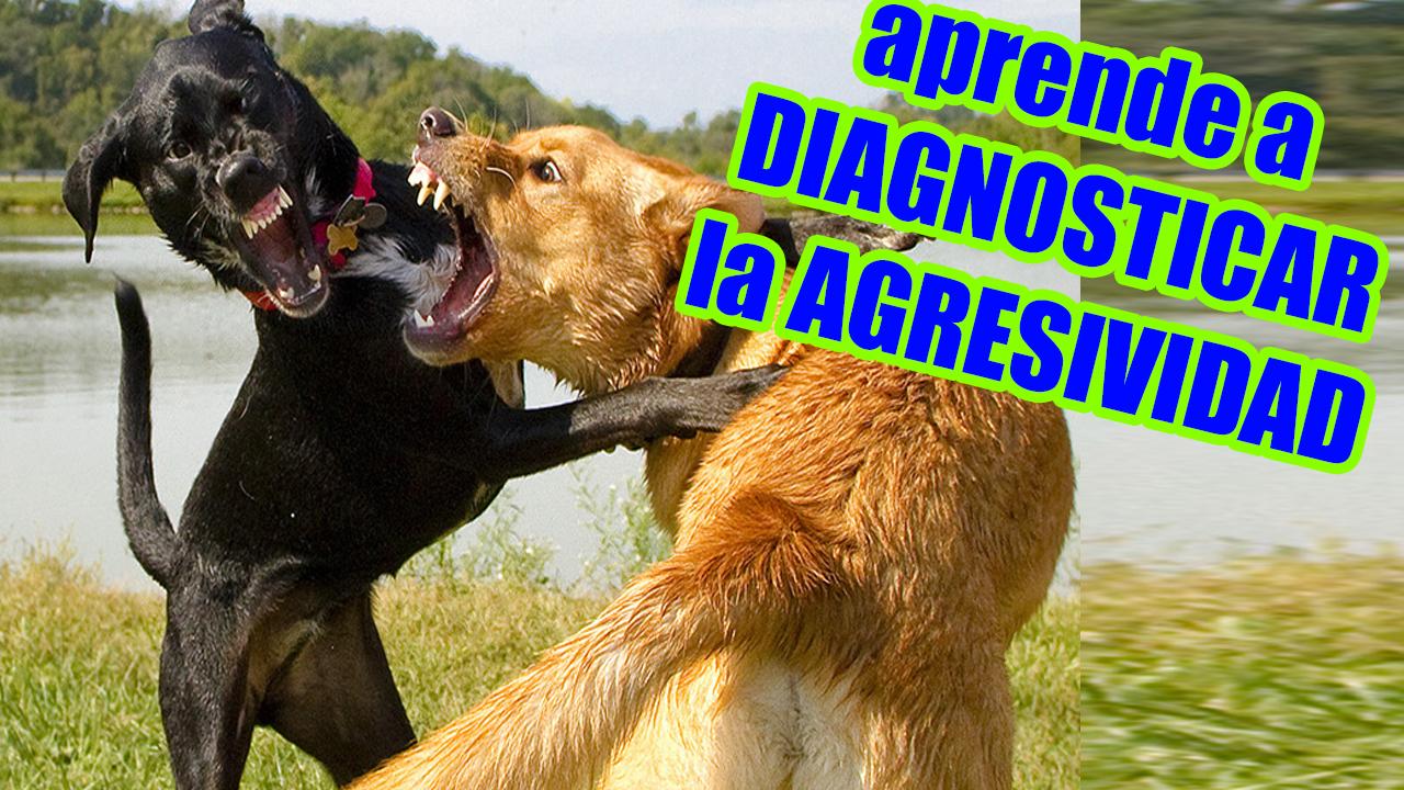 Perros Peleando Agresividad Canina