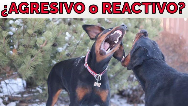 Agresividad Reactividad Canina